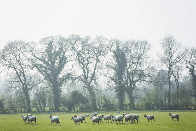 Flock of sheep on a pasture — Stock Photo