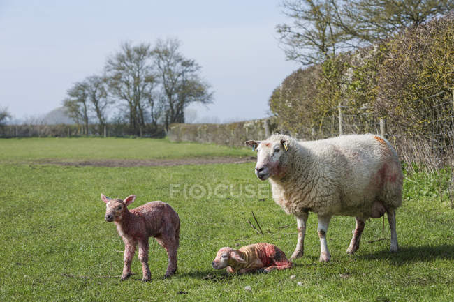 Prémio por ovelha e dois cordeiros recém-nascidos — Fotografia de Stock