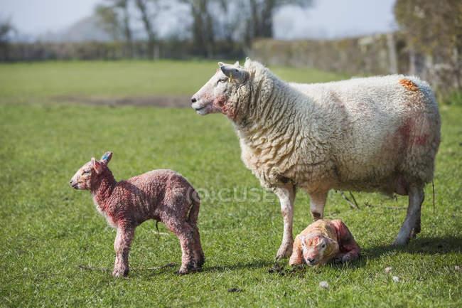 Ewe and two newborn lambs — Stock Photo