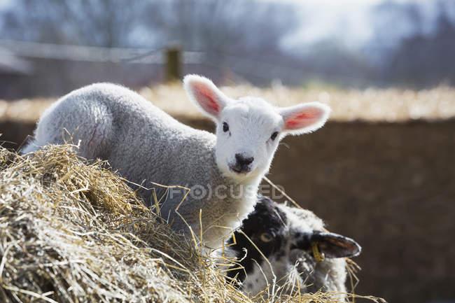 Cordeiro recém-nascido espreitando de palha. — Fotografia de Stock