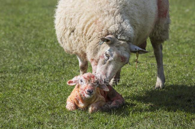 Limpeza de ovelha lambendo seu cordeiro recém-nascido — Fotografia de Stock