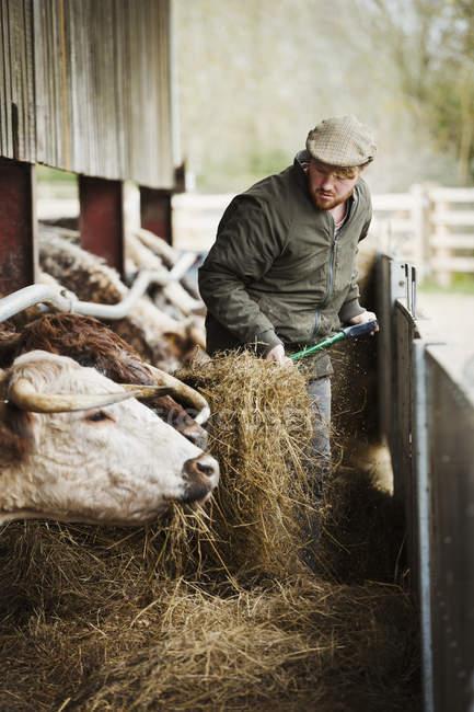 Agricultor-gado de alimentação — Fotografia de Stock