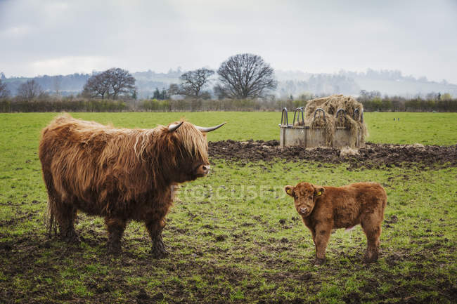 Highland cow and calf — Stock Photo