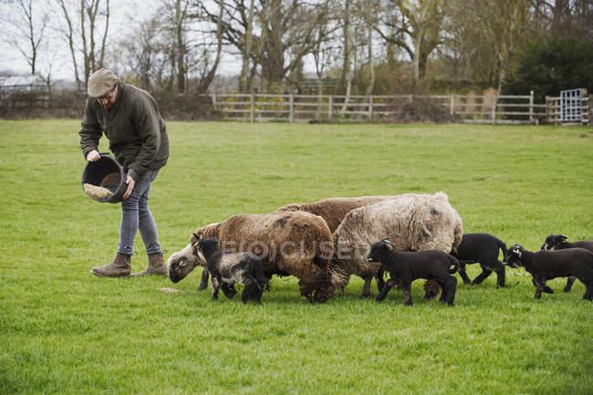 Ovelhas e cordeiros seguindo um homem — Fotografia de Stock