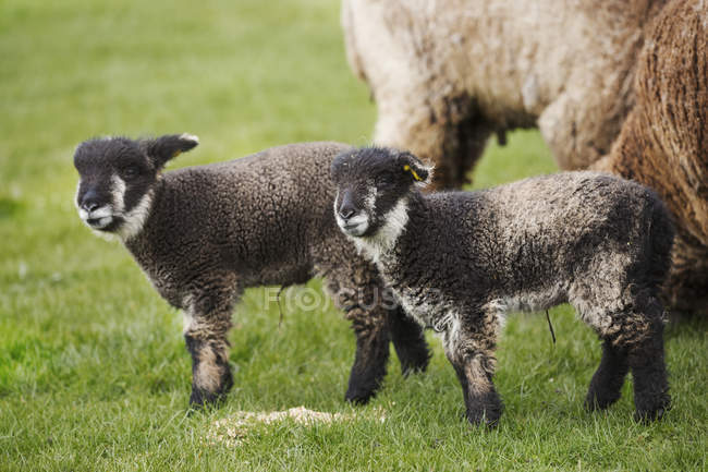 Mature sheep and two lambs — Stock Photo