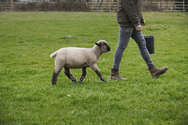Farmer walking closely by sheep. — Stock Photo