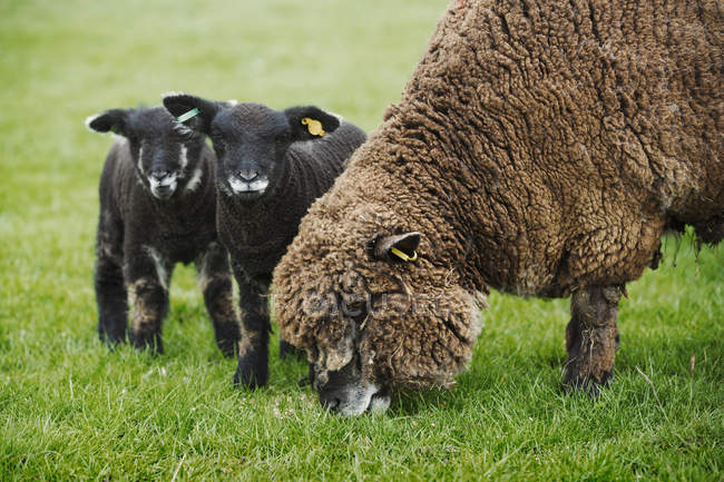 Brown sheep and two black lambs — Stock Photo