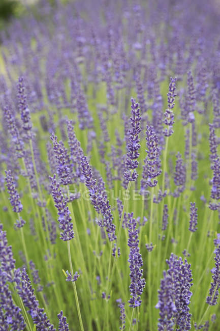 Lavender plant flowering. — Stock Photo