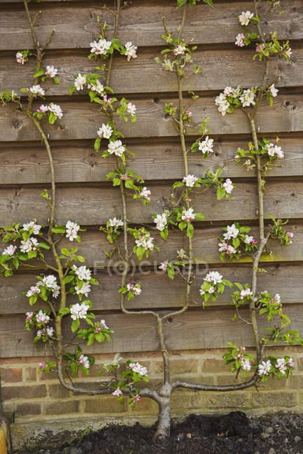 Zaun mit rosa Blüten blühen — Stockfoto