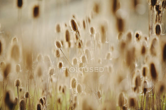 Thistle heads on plants — Stock Photo