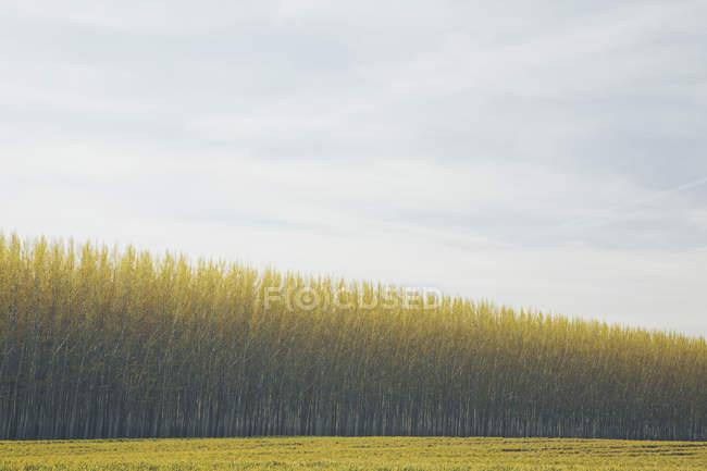 Комерційно вирощених тополь. — стокове фото