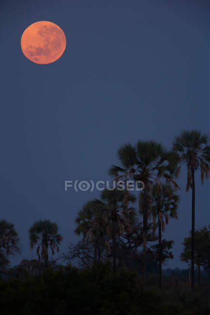 Luna roja sobre palmeras - foto de stock