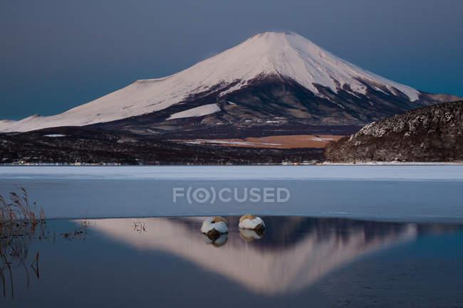 Mute swans in Lake — Stock Photo