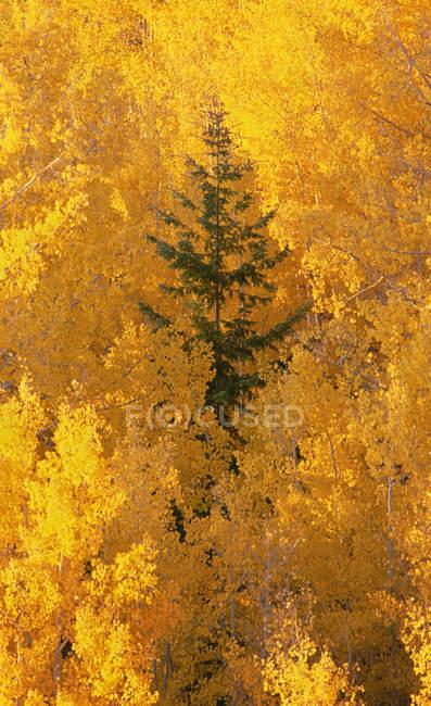 Grüner Baum in gelben Espenwäldern — Stockfoto