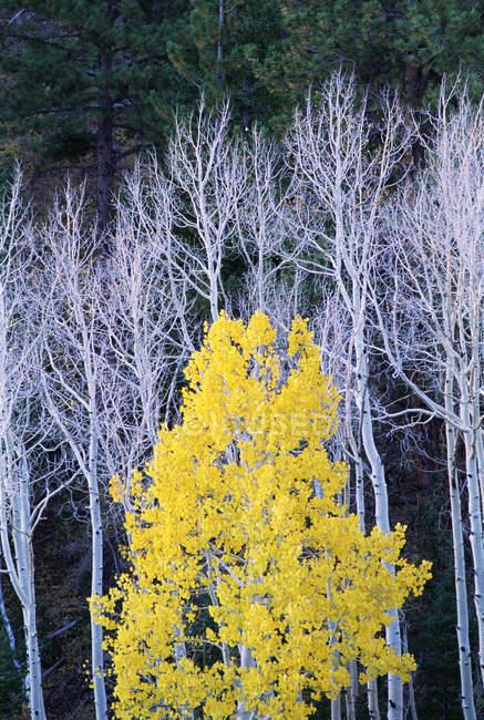 Blanco árboles troncos con follaje amarillo - foto de stock