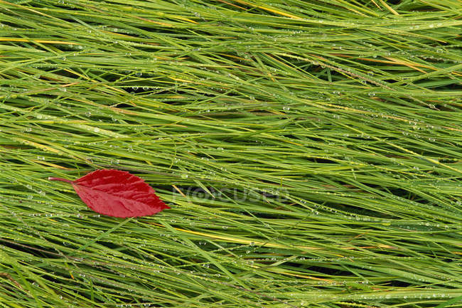 Red leaf lying on wet grass — Stock Photo