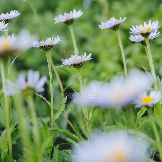 Alpine daisies in green meadow — Stock Photo