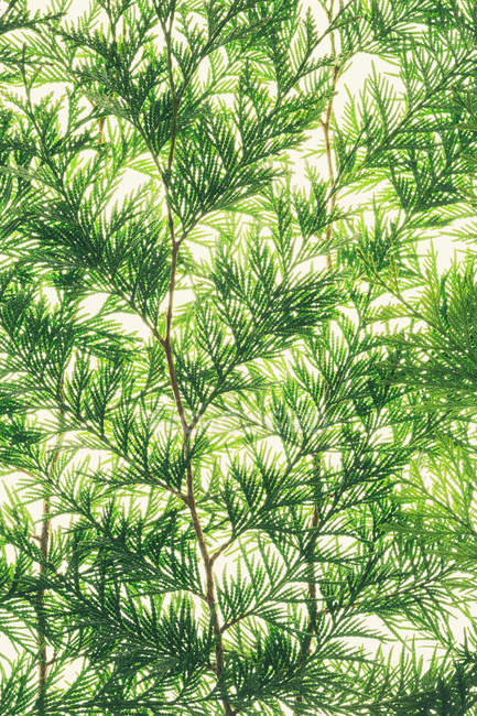 Red cedar branches — Stock Photo
