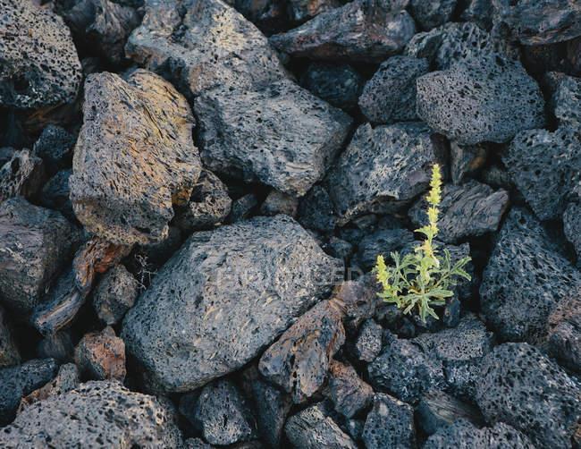 Зелена рослина, що росте серед скель — стокове фото