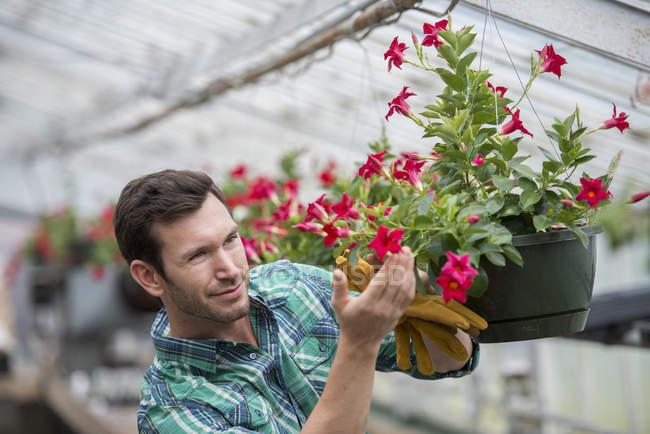Man working in organic nursery greenhouse. — Stock Photo