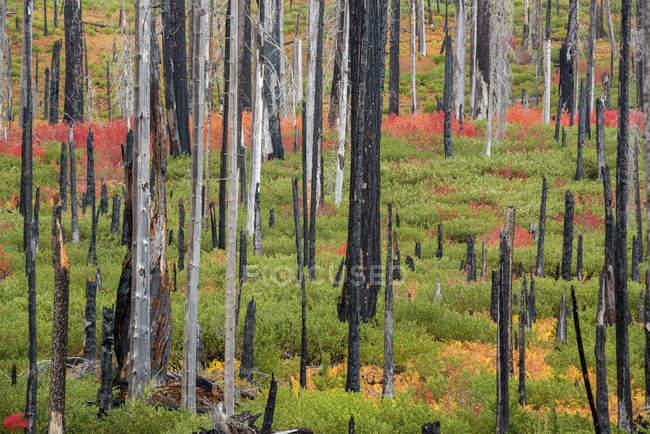 Обвуглені пні в лісі — стокове фото