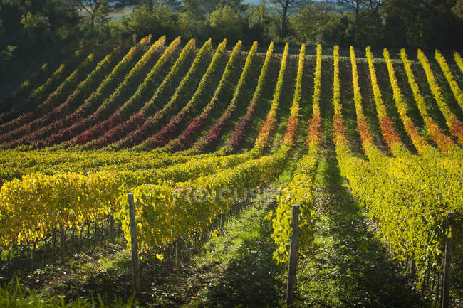 View of vineyard in autumn — Stock Photo