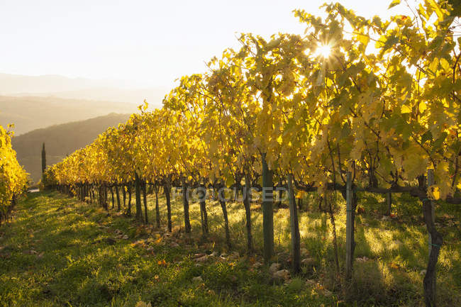 Yellow leaves of vineyard — Stock Photo