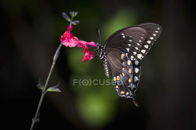 Primer plano de la mariposa cola de golondrina sentada en flor rosa . - foto de stock