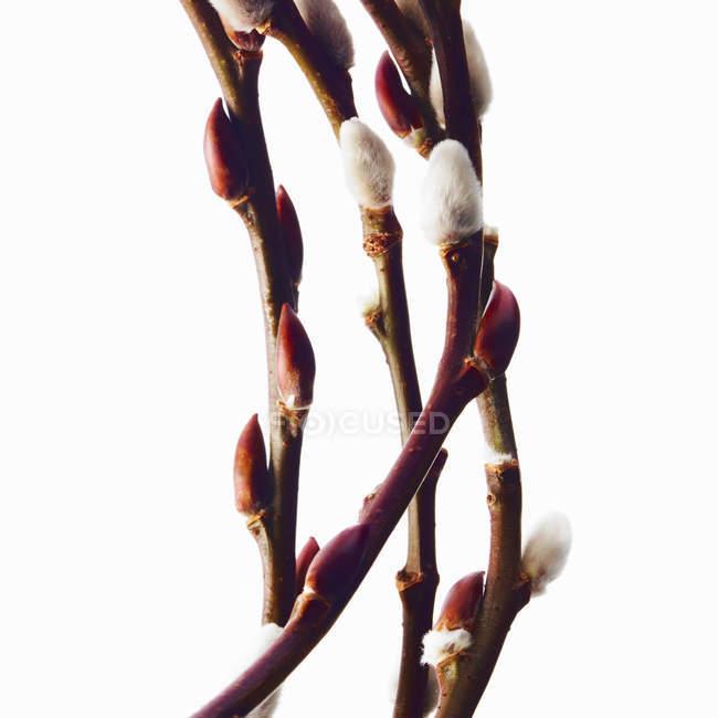 Ветки и цветущие кустарники ивы на белом фоне — стоковое фото