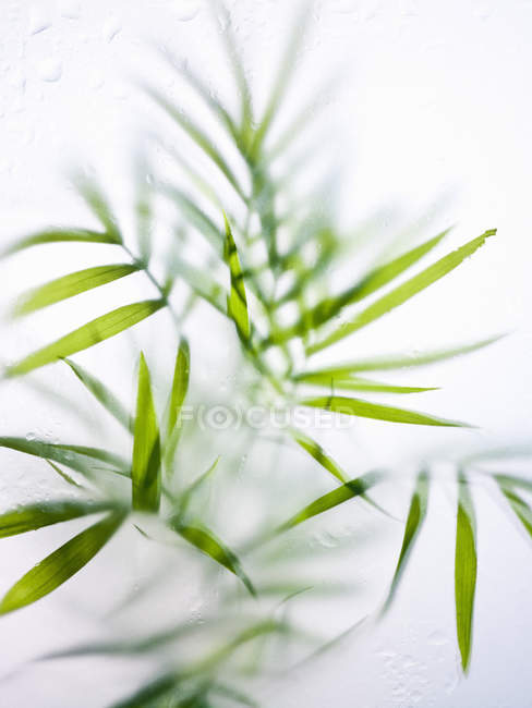 Close-up of fresh green strap leaves and foliage of house plant. — Stock Photo