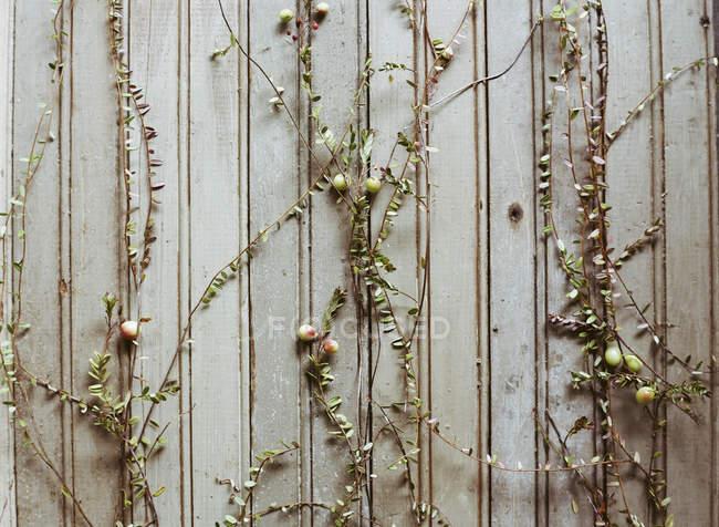 Plantas de arándano rojo que se extienden en la pared de madera . - foto de stock