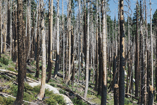 Burnt trees after forest fire in hilly landscape — Stock Photo