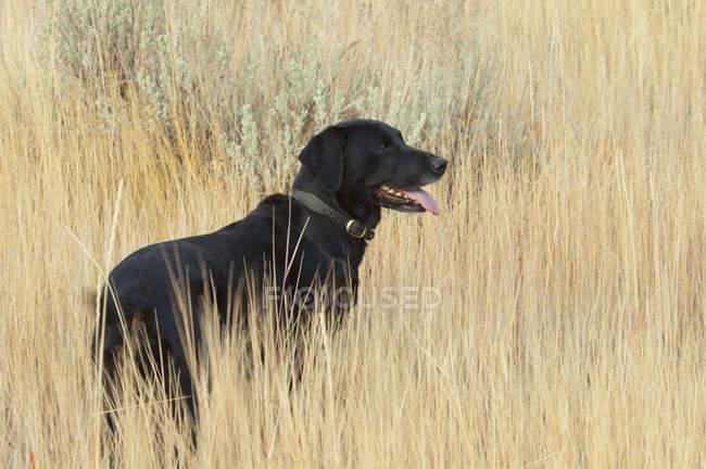 Preto de pé de cão labrador na grama alta. — Fotografia de Stock