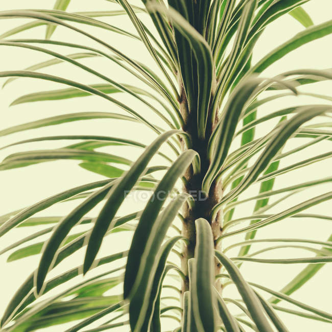 Close-up of fleshy green leaves of Euphorbia plant on white background. — Stock Photo