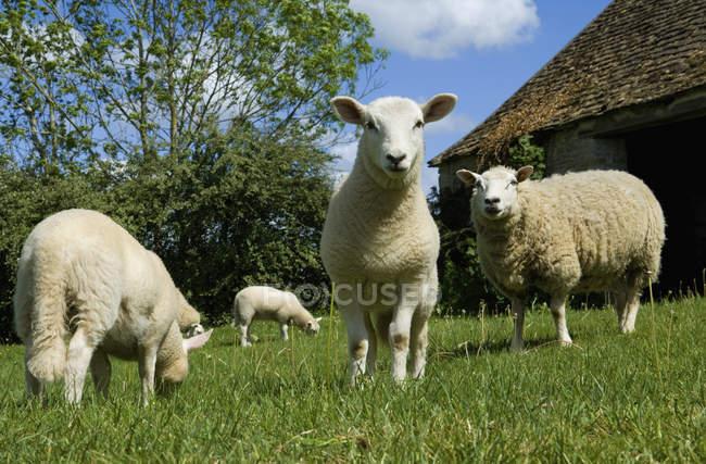 Pastoreo de ovejas en el prado de la granja rural . - foto de stock