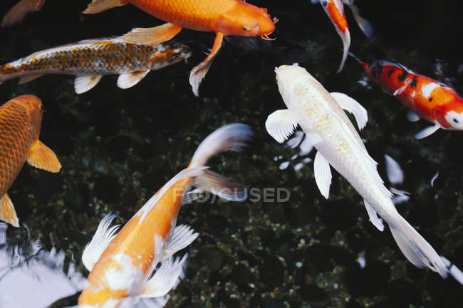 Peixes do koi carpa na água da lagoa, close-up. — Fotografia de Stock