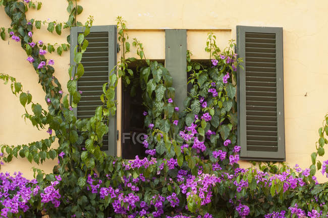 Finestra, parete e persiane di villa ricoperta di piante rampicante con fiori viola. — Foto stock