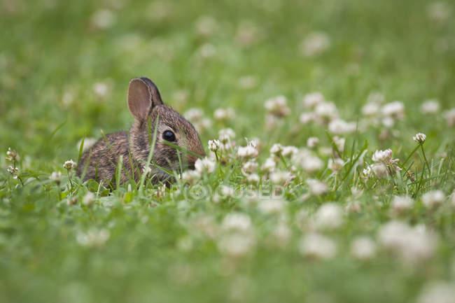 Кролик Baby сидя в траве и клевер луговой — стоковое фото