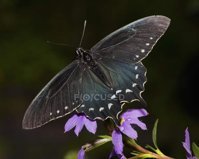 Primer plano de la mariposa cola de golondrina sentada en la flor púrpura . - foto de stock