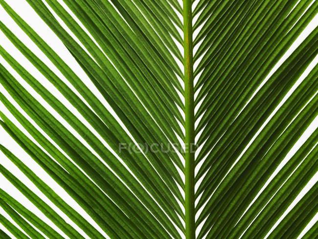 Glänzend grünes Blatt mit Mittelrippe palm und gepaart Wedel, close-up. — Stockfoto