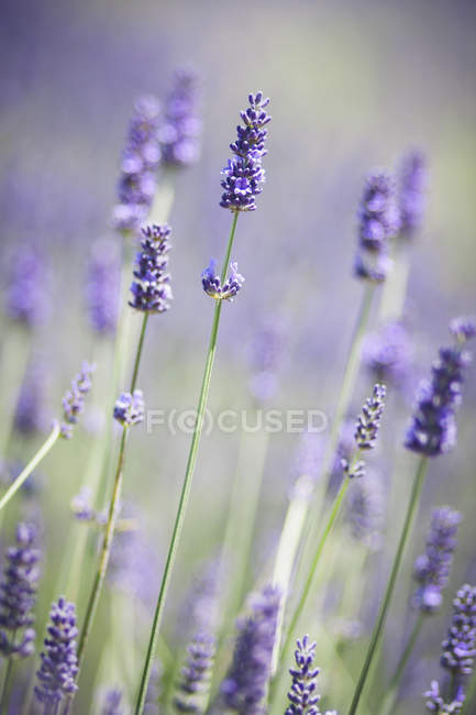 Макро, фиолетовый лаванды растений в поле. — стоковое фото