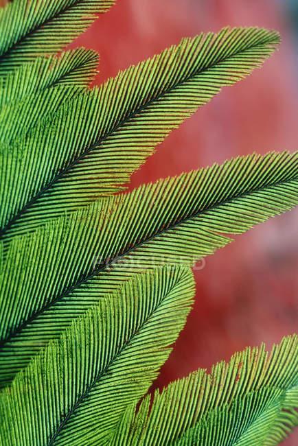 Piume di quetzal splendente, primo piano. — Foto stock