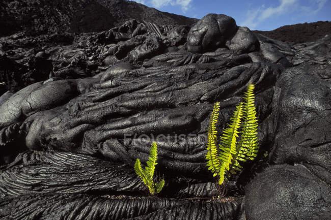 Samambaias, brotando em rachaduras de lava arrefecida, parque de nacional de vulcões do Havaí, Havaí — Fotografia de Stock
