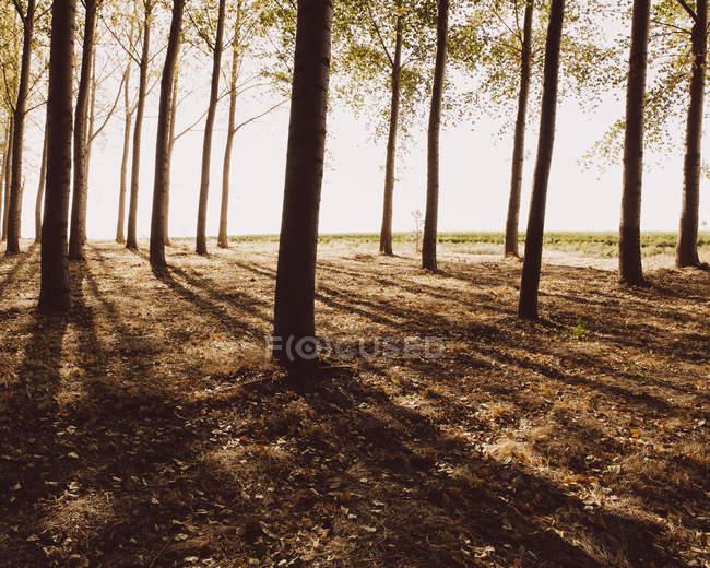 Alberi di latifoglie piantati in file ordinate . — Foto stock