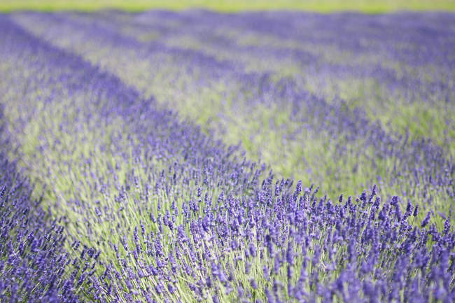 Rows of aromatic lavender plants flowering in field. — Stock Photo