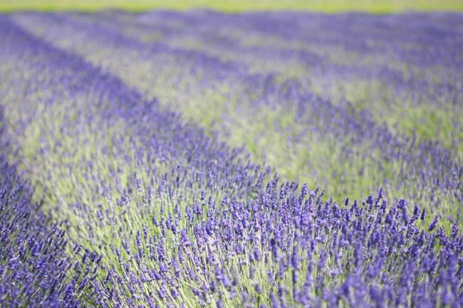 Reihen aromatischer Lavendelpflanzen blühen auf dem Feld. — Stockfoto