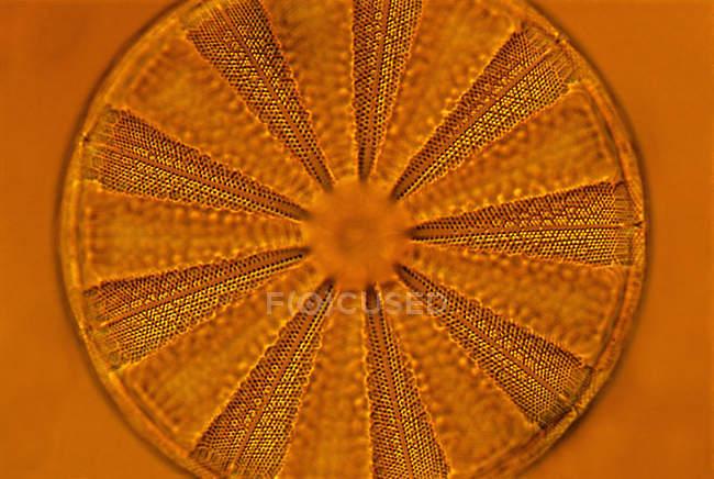 Natural pattern of orange diatom, close-up. — Stock Photo