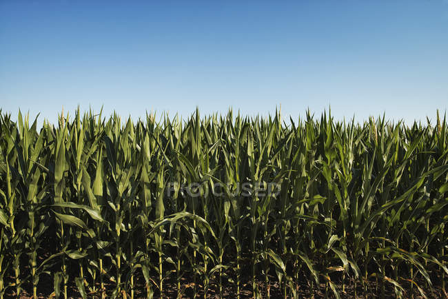 Field of tall maize plants in scenic landscape. — Stock Photo