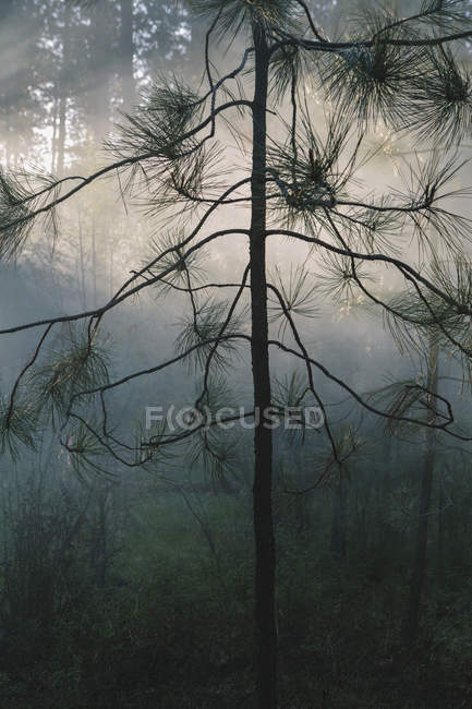 Trees in smoke after controlled fire in coniferous forest. — Stock Photo