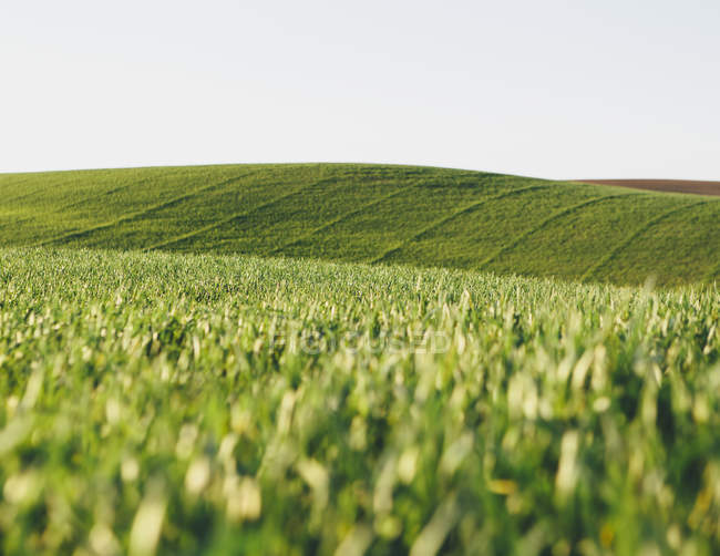 Ripening stalks of food crops of cultivated wheat growing in field near Pullman, Washington, USA. — Stock Photo